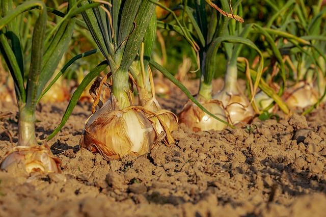 cibule v půdě